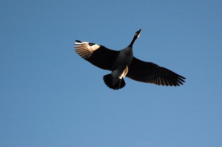 fly_goose.jpg