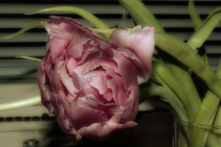 midnight_tulip.jpg