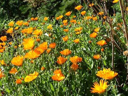 orange_daisies2.jpg